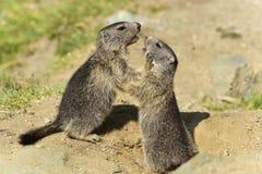Marmota alpina juvenil Foto de Stock Royalty Free