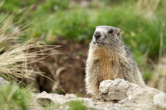 Marmota alpina - Marmota do Marmota Foto de Stock Royalty Free