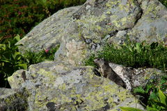 Marmota alpina (marmota do Marmota) Fotografia de Stock Royalty Free