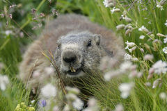 A marmota alpina (marmota do Marmota) na grama Fotografia de Stock Royalty Free