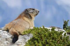 Marmota alpina na rocha Fotografia de Stock Royalty Free