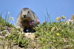 Marmota alpina nova Fotos de Stock Royalty Free