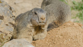 Marmota alpinas Foto de Stock