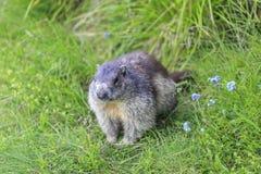 Marmota alpino del Marmota della marmotta Immagini Stock Libere da Diritti