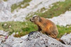 Marmota alpino del Marmota della marmotta su roccia Fotografia Stock