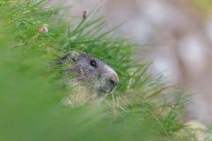 Marmota alpino del Marmota della marmotta nelle alpi francesi Fotografie Stock Libere da Diritti