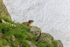 Marmota alpino del Marmota della marmotta nelle alpi francesi Fotografia Stock Libera da Diritti
