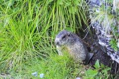 Marmota alpino do Marmota da marmota Imagem de Stock