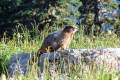 Marmota bajo luz del sol Imagenes de archivo