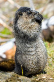 Marmota canosa Fotografía de archivo