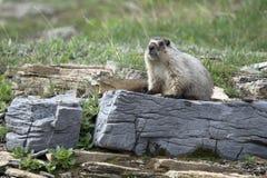 Marmota canosa Foto de archivo libre de regalías