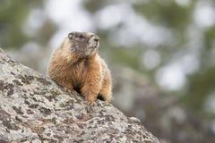 Marmota colorida que se sienta en roca Foto de archivo libre de regalías