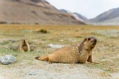 Marmota con Mountain View Fotos de archivo libres de regalías