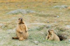 Marmota con Mountain View Imagenes de archivo
