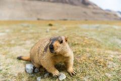Marmota con Mountain View Imagen de archivo