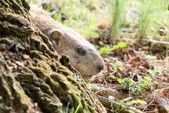 Marmota congelada Fotografia de Stock