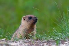 Marmota contra una hierba verde Imágenes de archivo libres de regalías