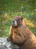 Marmota curiosa Imágenes de archivo libres de regalías
