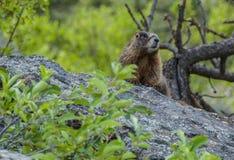 Marmota curiosa Foto de archivo libre de regalías