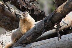 Marmota curiosa Imagens de Stock