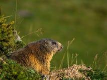 Marmota curiosa que mira hacia fuera en las montañas - 1 Foto de archivo libre de regalías