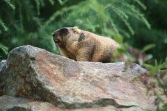 Marmota de Bobak Foto de Stock Royalty Free