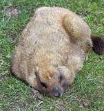 Marmota de Bobak Fotos de Stock