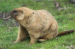 Marmota de Bobak Imagens de Stock
