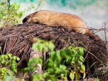 Marmota de Bobak al aire libre Imagen de archivo libre de regalías