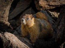 Marmota de Colorado Foto de archivo libre de regalías