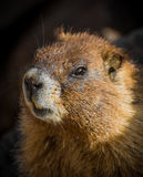 Marmota de Colorado Fotografía de archivo