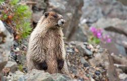 Marmota de Horay Imagenes de archivo