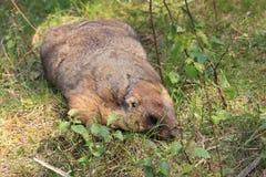 Marmota de la estepa Foto de archivo libre de regalías