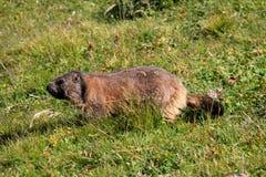 Marmota de la ojeada Imágenes de archivo libres de regalías