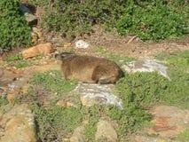 Marmota de la playa de los cantos rodados Foto de archivo libre de regalías