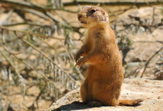 Marmota de pradaria atada preto Foto de Stock Royalty Free