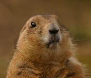 Marmota de pradaria de cauda negra - ludovicianus do Cynomys Imagem de Stock Royalty Free