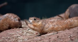 Marmota de pradera de cola negra Imagen de archivo libre de regalías