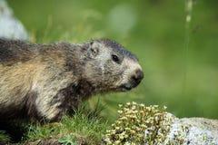 Marmota de Seneaking Imagenes de archivo