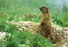 Marmota del centinela Imágenes de archivo libres de regalías
