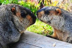 marmota del padre y del hijo en la madera Foto de archivo
