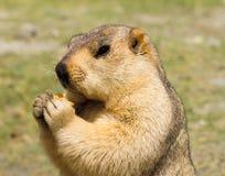 Marmota divertida con el bisquit en el prado Imagenes de archivo