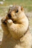 Marmota divertida con el bisquit en el prado Imagen de archivo libre de regalías