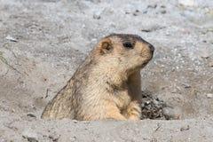 Marmota divertida en Ladakh, la India Foto de archivo libre de regalías