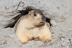 Marmota divertida en Ladakh, la India Fotos de archivo libres de regalías