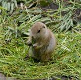 Marmota do bebê fotografia de stock