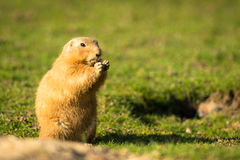 Marmota em Hind Legs Eating Foto de Stock Royalty Free