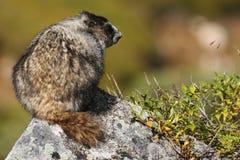 A marmota empoleirou-se sobre uma rocha na passagem de Hatcher, AK Fotos de Stock Royalty Free