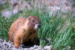 Marmota en el movimiento Fotografía de archivo