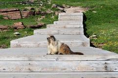 Marmota en el paso del ` s de Logan Fotografía de archivo